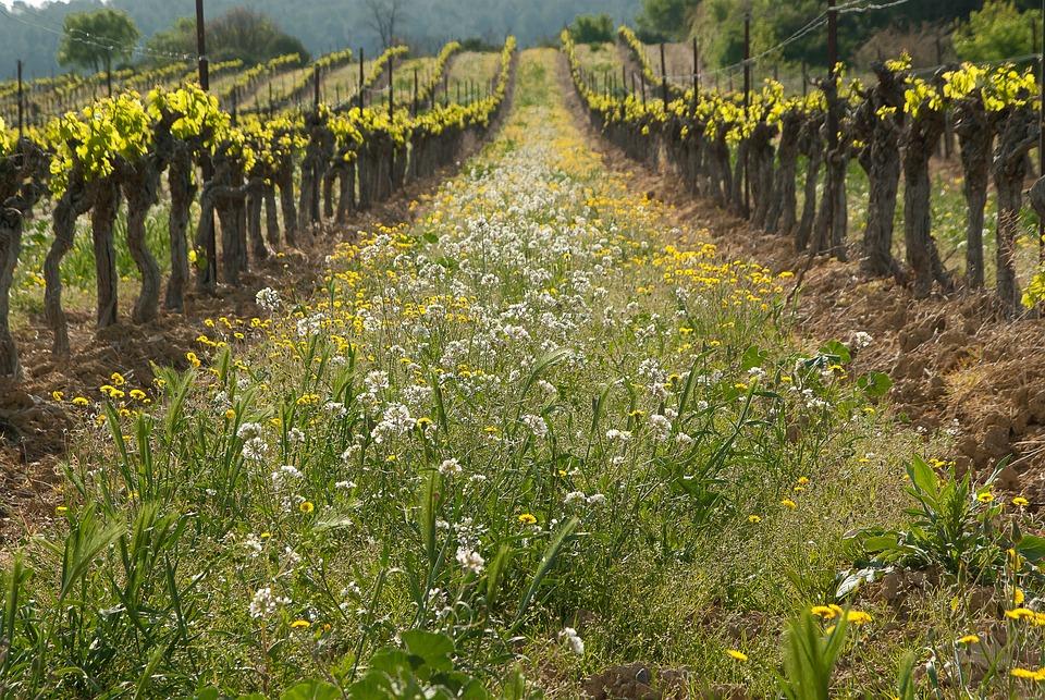 Vine, Vineyard, Culture, Spring, Weeds