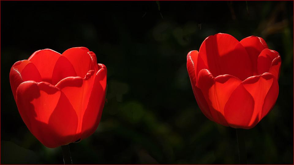 Tulip, Flower, Blossom, Bloom, Red, Cup, Flora, Flowers