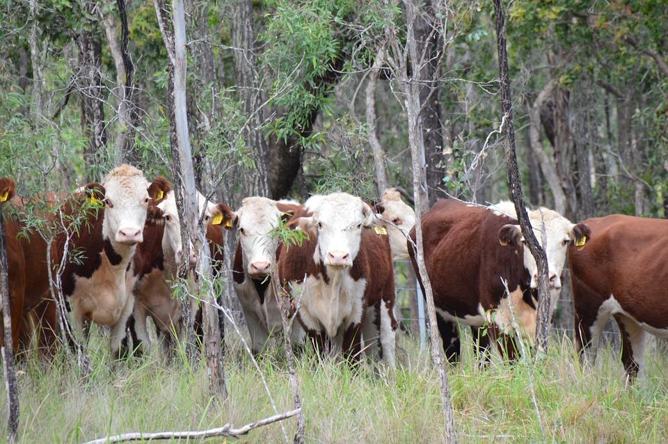 Cattle, Curiosity, Rural, Animal, Farm, Cow, Beef