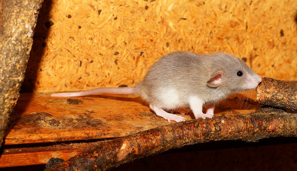 Rat, Color Rat, Young Animal, Curious, Pretty, Cute