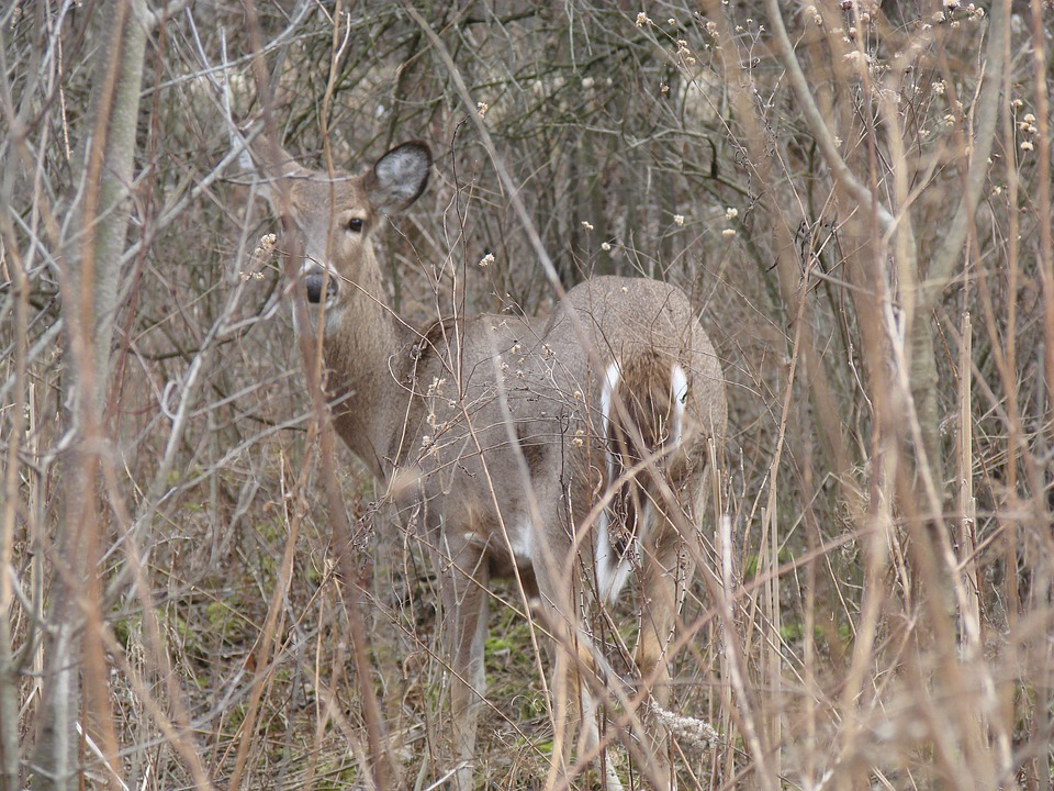 Deer, Wood, White Tailed, Animal, Nature, Curious