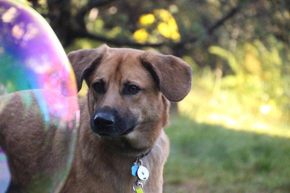 Dog, Soap Bubble, Curious