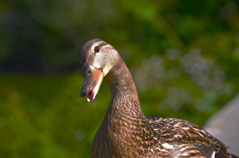Female Mallard, Duck, Curious, Questioning, Nature