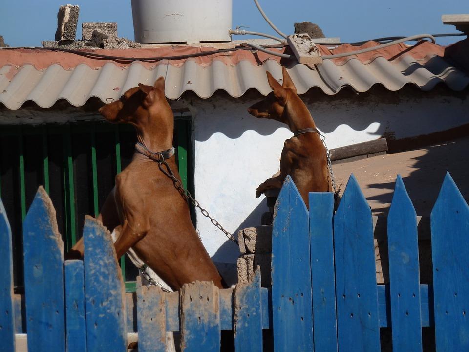 Fence, Dogs, Light Brown, Dangerous, Curious