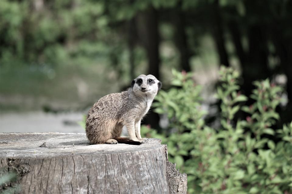 Meerkat, Animal, Vigilant, Curious, Zoo