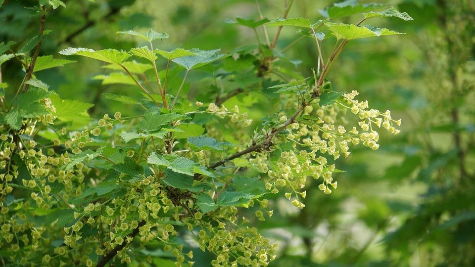 Currant Bush, Berry Bush Bloom, Spring