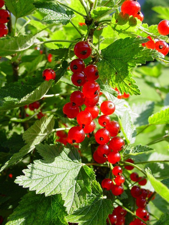 Currants, Currant, Berries, Fruit, Plant, Red
