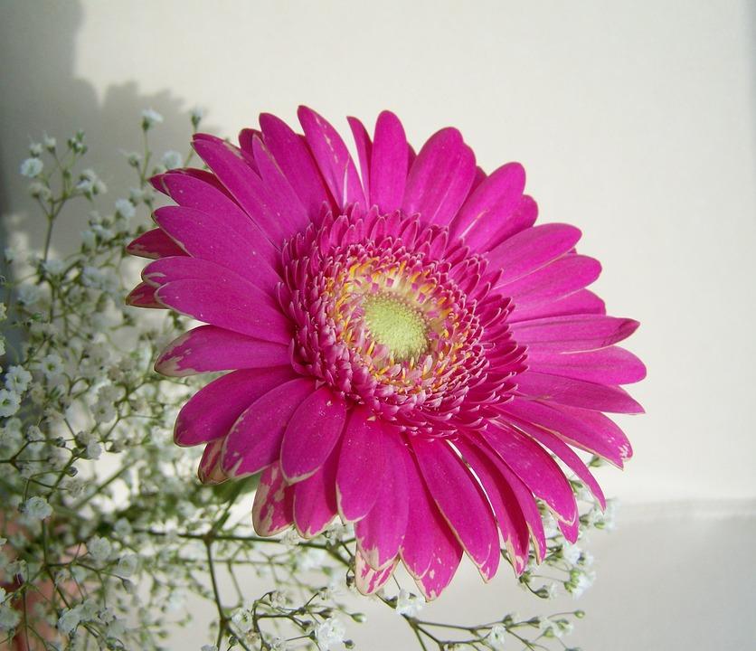 Gerbera, Cut Flower, Pink