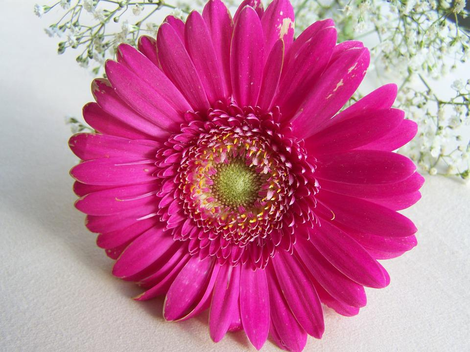 Gerbera, Cut Flower, Pink