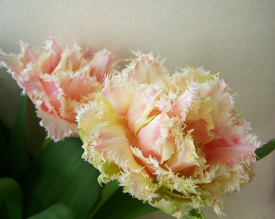 Tulip Bouquet, Cut Flower, Spring Flower