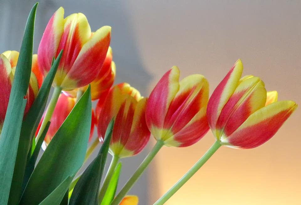 Tulips, Cut Flowers, Flowers, Incomplete, Blossom