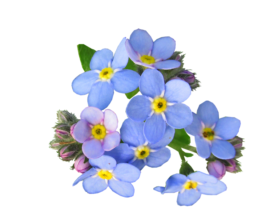 Flowers, Blue, Forget Me Not, Cut, Out, Garden, Nature