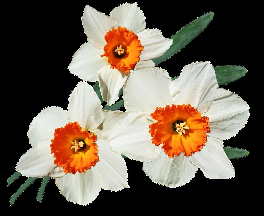 Flowers, Daffodils, Bulbs, Spring, Garden, Cut Out