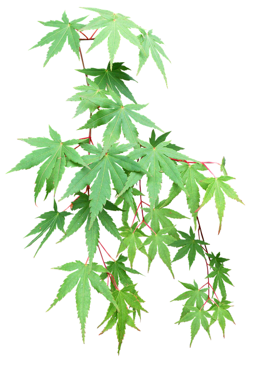 Leaves, Maple, Cut Out