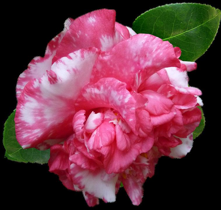 Flower, Camellia, Pink, Garden, Cut Out