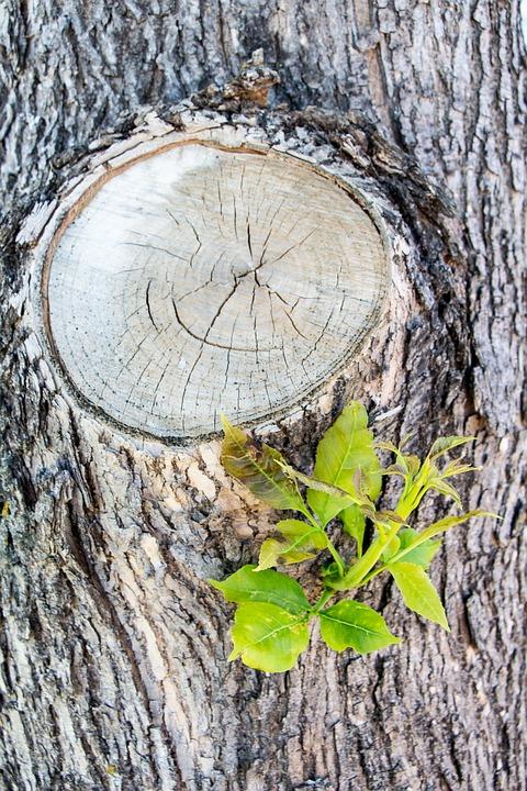 Knot, Twig, Cut, Bark, Wood, Natural, Branch, Nature