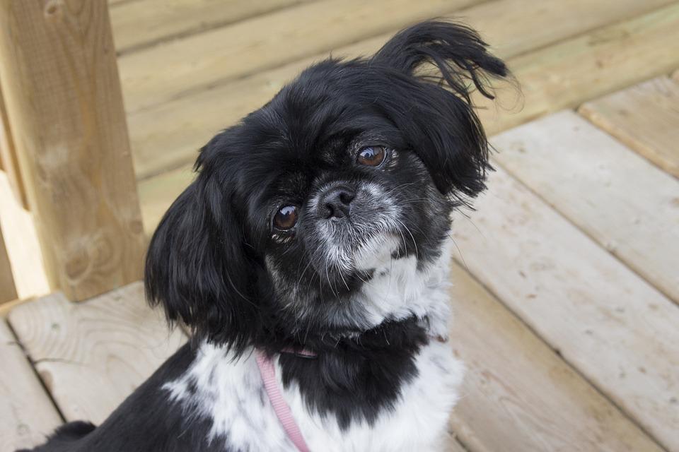 Pekingese, Dog, Puppy, Animal, Cute, Hair, Adorable