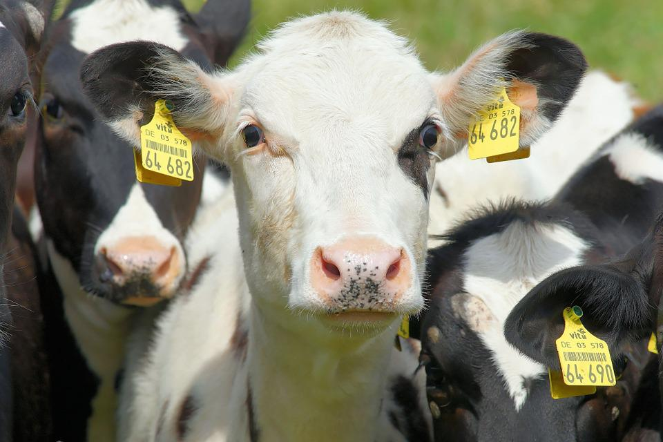 Cow, Young Animal, Black Pied, Agriculture, Cute