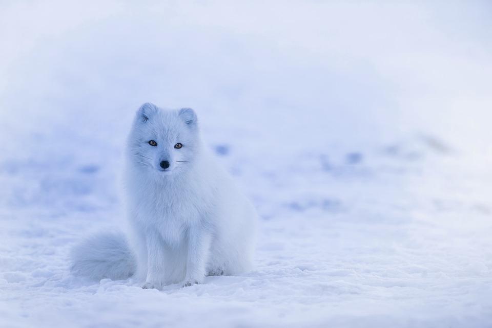 Iceland, Arctic Fox, Animal, Wildlife, Cute, Winter
