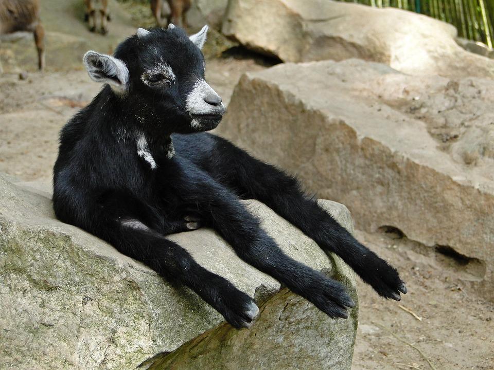 Goat, Kid, Animal, Nature, Cute, Animals, Black White