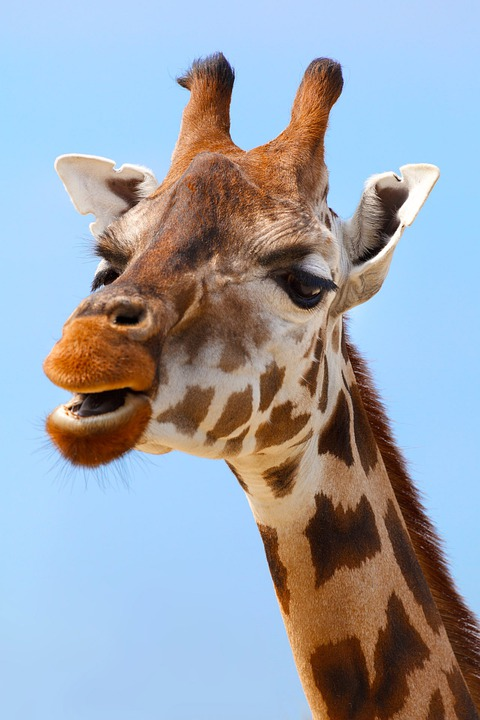 Africa, African, Animal, Big, Brown, Close-up, Cute