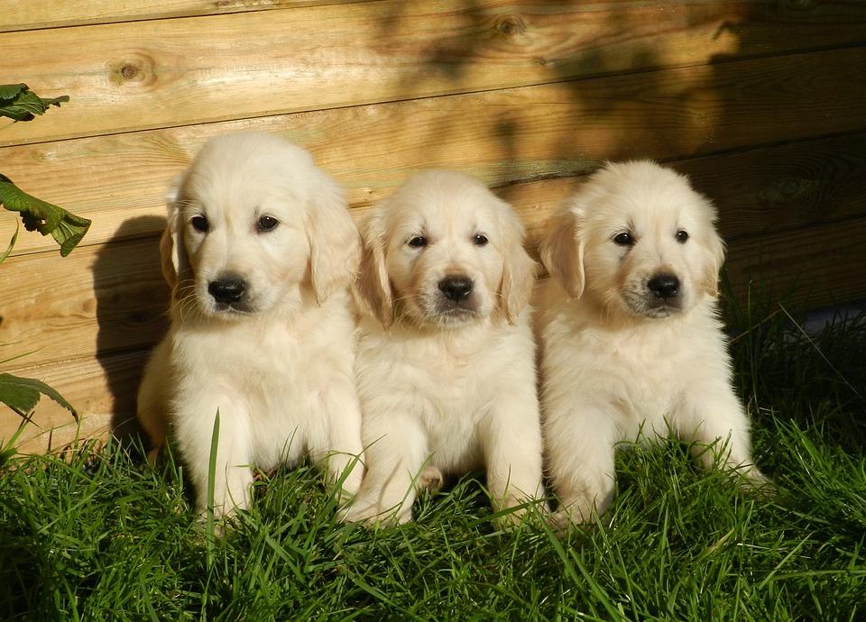 Puppies, Golden Retriever, Cute, Animal, Dog