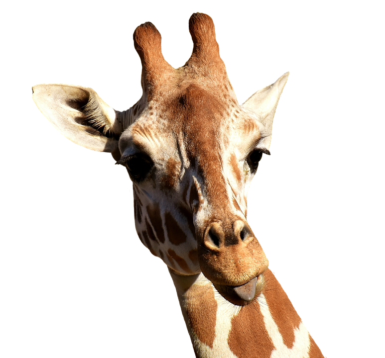 Giraffe, Cheeky, Stick Out Tongue, Funny, Cute, Animal