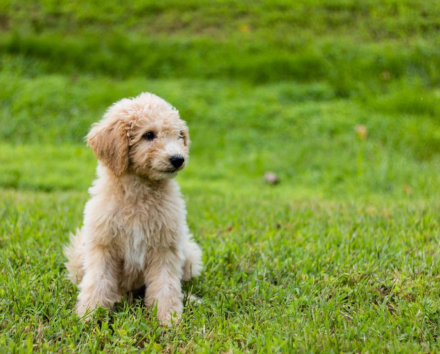 Goldendoodle, Puppy, Cute, Animal, Green Grass, Dog