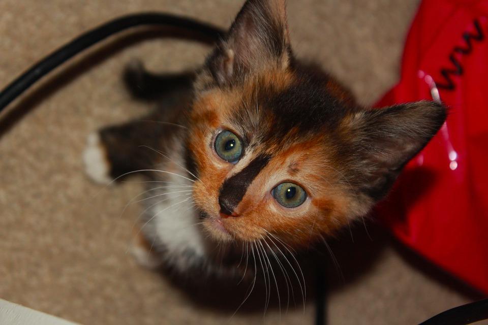 Free Photo Cute Animal Kitty Beautiful Kitten Pet Cat Max Pixel