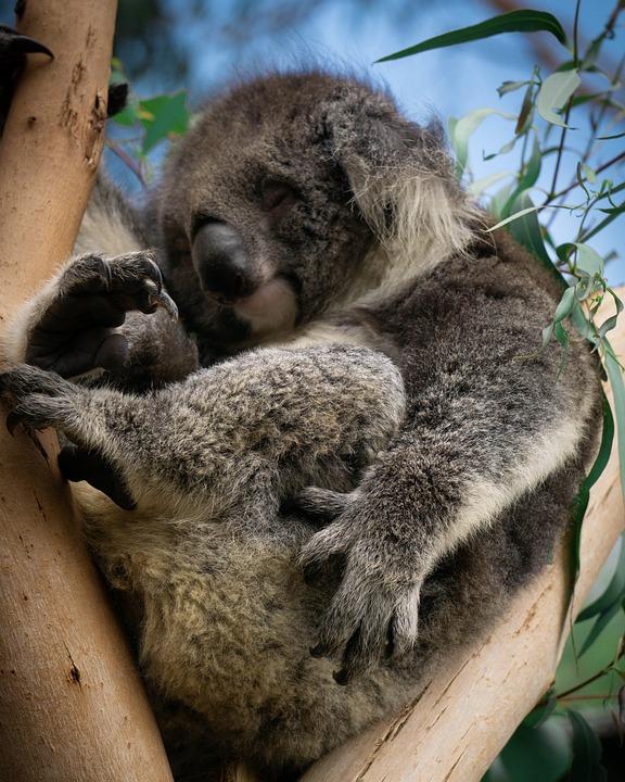 Koala, Australia, Eucalyptus, Cute, Animal, Nature