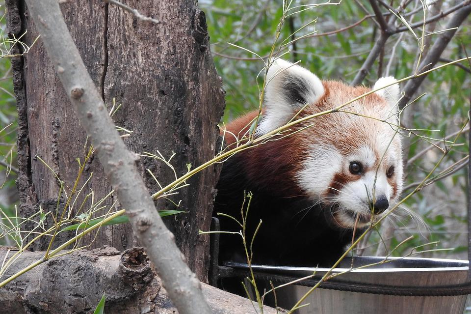 Red Koala, Zoo, Cute, Merengue, Animals