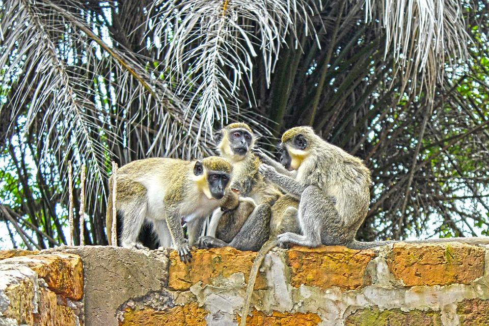 Monkeys, Wildlife, Animals, Cute, Wild, Nature