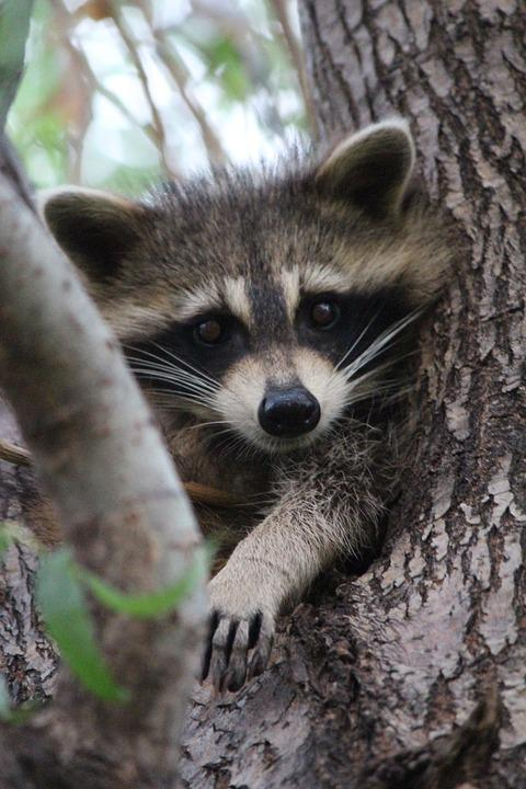 Baby, Raccoon, Cute, Wildlife, Animal, Inquisitive