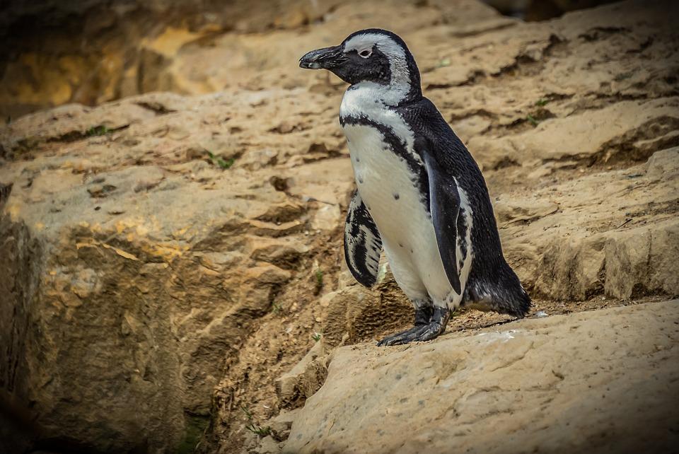 Free Photo Cute Bird Animal World Penguins Nature Animal