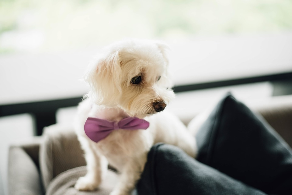 Wonderful Bow Tie Bow Adorable Dog - Cute-Bow-Tie-White-Dog-Puppy-2595917  Picture_282791  .jpg