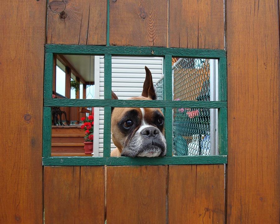 Dog, Boxer, Boxer Dog, Cute, Animal, Pet, Canine