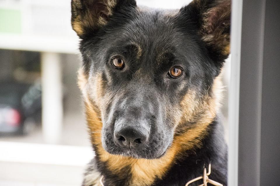 Dog, German, Shepherd, Happy, Breed, Cute, Portrait