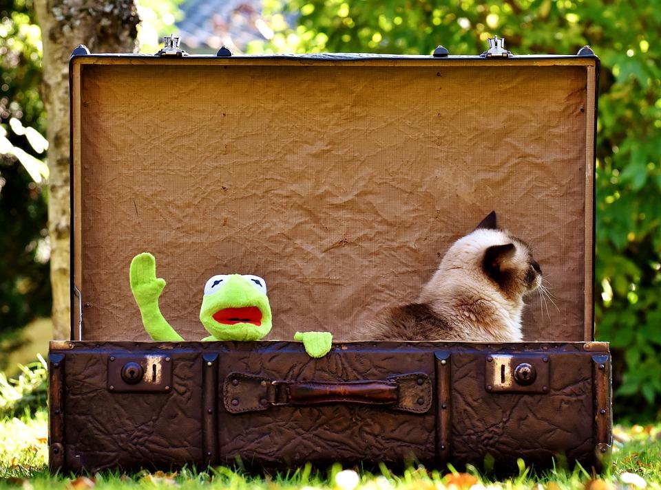Kermit, Cat, British Shorthair, Farewell, Cute