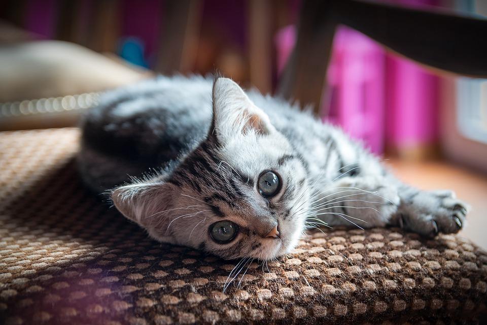 Kitten, British Shorthair, Pet, Cute, Cat, Domestic Cat