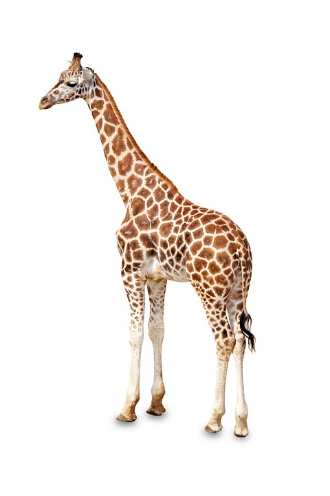 Africa, African, Animal, Big, Brown, Standing, Cute