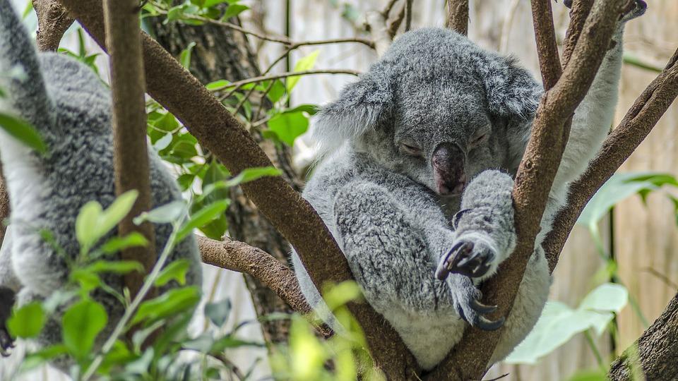 Koala, Zoo, Cute, Koala Bear, Nature, Sweet, Bushy
