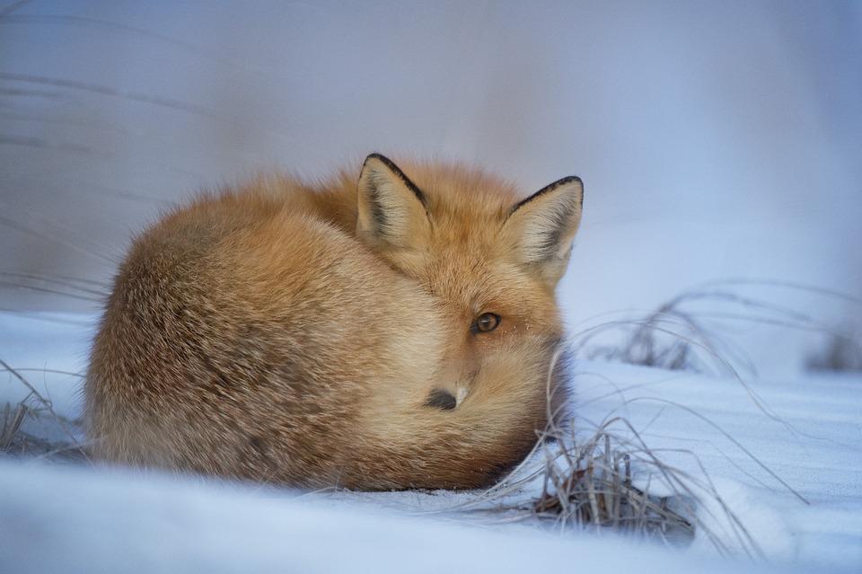 Animal, Blur, Canine, Cold, Cute, Daylight, Fox, Frosty