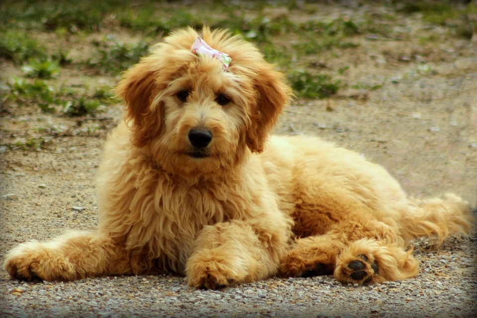 Goldendoodle, Dog, Puppy, Doodle, Animal, Canine, Cute