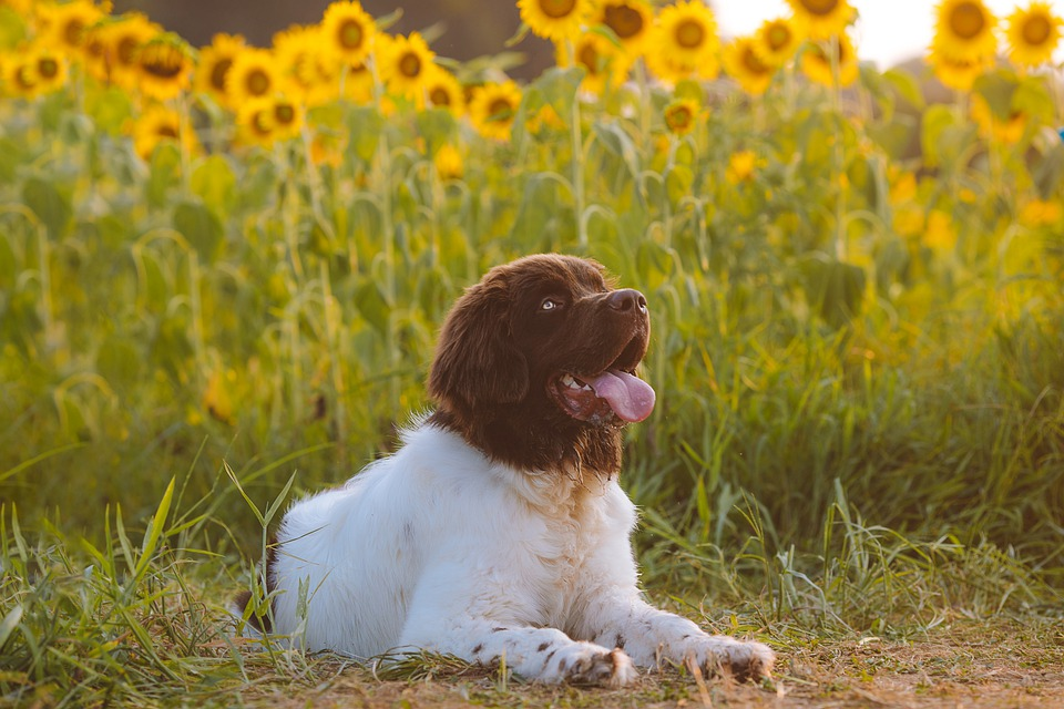 Dog, Puppy, Canine, Pet, Animal, Cute, Portrait, Sunset
