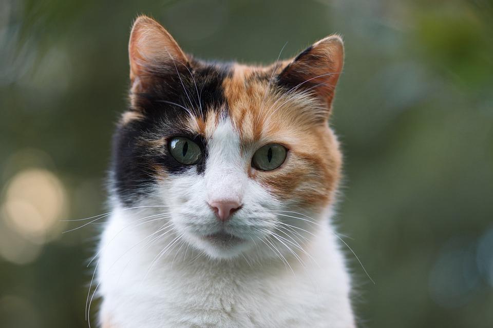Cat, Calico, Adorable, Cute, Mammalian, Kitten, Fur