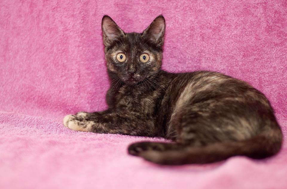 Cat, Feline, Kitty, Pet, Domestic, Cute Cat, Small