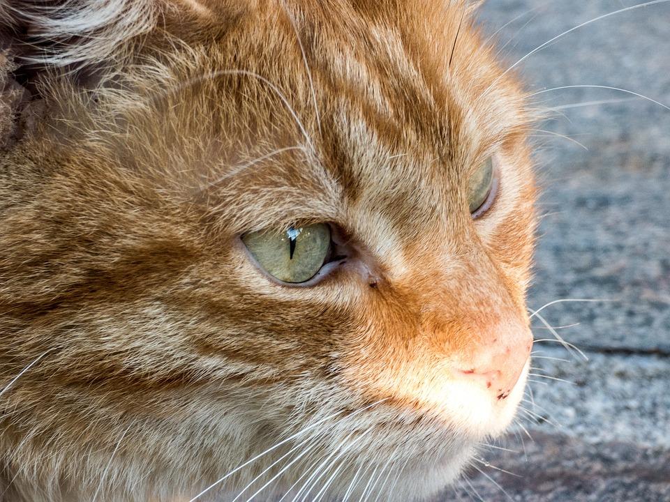 Cat, Domestic Cat, Animal, Cute, Pet, Relax