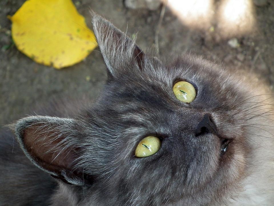 Cat, Pets, Animals, Cat Eyes, Cat's Eye, Cute, Pet