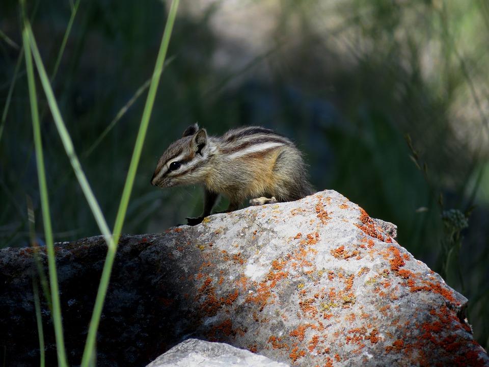 Chipmunk, Rodent, Stripes, Cute, Animal, Furry