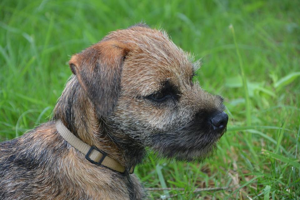 Dog, Puppy, Race, Border-terrier, Animal, Petit, Cute